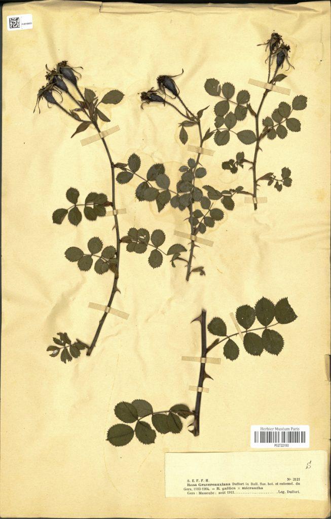 Rosa Gravereauxiana (Herbier Museum Paris) 2722190_wp